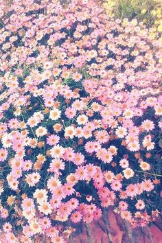 Image via We Heart It https://weheartit.com/entry/170368257 #background #daisies #daisy #flores #flowers #foto #girly #nature #palepink #photo #random #spring #tumblr #wallpaper #fondo