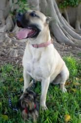 Emma is an adoptable Presa Canario Dog in Jacksonville, NC. Emma is a 2 year old female fawn Presa Canario. She is excellent with children, lives with two cats and two dogs. She is great with large an...