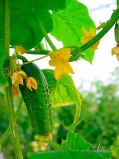 veggie growing tips