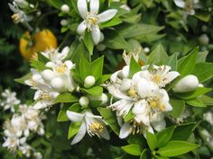 Orangenbaum Plants, Europe, Islands, Paradise, Garten, Flora, Plant, Planting