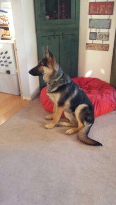 REX German Shepherd Puppy 6 months 2 weeks.