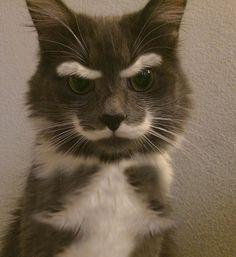 mustache eyebrow cat OMG I wish Herman looked like this lmao