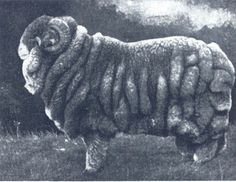 Champion Merino ram, 1905 Sydney Sheep Show