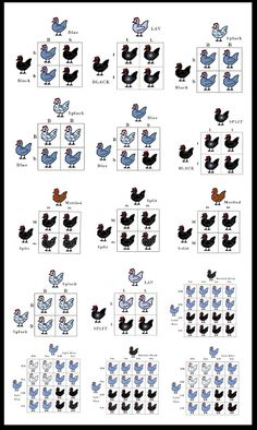 Chicken Breeding Charts | Sweet Southern Blue