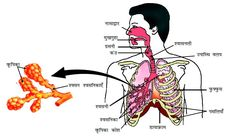 Human-Respiratory-system Important Diagrams for CBSE Class 10 Biology Biology Drawing, Science Diagrams, Creative Birthday Cards, Visiting Card Design, Biology Lessons, Science Notes, Board Exam, Class Notes