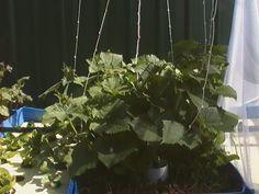 Cucumbers running up strings