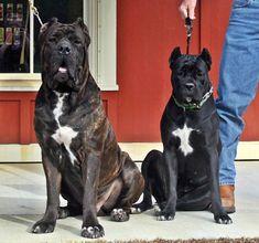 Pirates Den Cane Corso - Home Cane Corso Italian Mastiff, Cane Corso Mastiff, Cane Corso Dog, Mastiff Breeds, Dog Breeds, Big Dogs, I Love Dogs, Cane Corso Kennel, Pirates Den