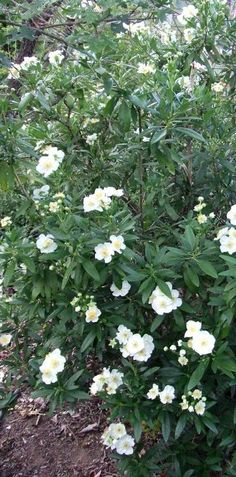 Bush Anemone makes a nice narrow hedge. Bush Anemone, Carpenteria californica is an evergreen shrub, 6' by 3' in the garden, 8 ft. X 12 ft. with a 6-12 inch trunk in the wild. Carpenteria is native to the foothills of Fresno County, where it grows along the edges of seasonal creeks.