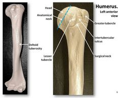 Humerus, anterior view with labels - Appendicular Skeleton Visual Atlas, page 6 | by Rob Swatski