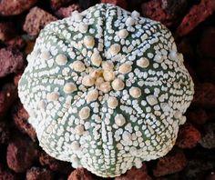 Cactofilia - Astrophytum asterias cv Super Kabuto Star shape