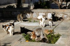 Stray cats on the island of Hydra, which has plenty of them