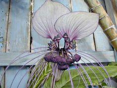tropical plants and flowers | ... on Exotic Bat Plant Bat Flower Tacca Chantrieri Bat Plants For Sale