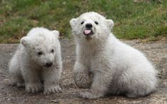 14 week-old twin polar bear cubs play during their first presentation to the media in Hellabrunn zoo on March 19, 2014 in Munich, Germany.