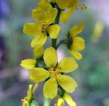 Propiedades medicinales de la Agrimonia (Agrimonia eupatoria).