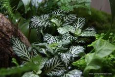 The variegation on this Fittonia brings a brightness and adds a lift to the terrarium planting. Fittonias are never gloomy! Wall Terrarium, Hanging Terrarium, Terrarium Plants, Terrarium Ideas, Autumn Garden, Easy Garden, Aquascaping Plants, Ficus Pumila, Flowers For Valentines Day