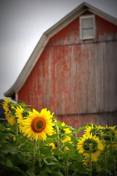 Love the contrast of the fresh sunflowers against the weathered barn.