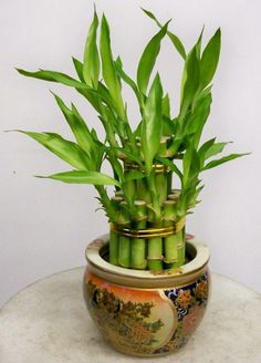 Lucky Bamboo Plant (ethnic Rm)