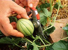 Cut the melon: the good gestures to have beautiful fruits - Garden Organic Gardening, Horticulture, Permaculture, Garden Online, Urban Garden, Mini Garden, Healthy Garden, Gardening Tips, Garden Insects
