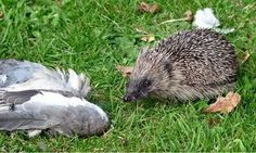 Young hedgehog bristles with delight over pigeon head supper