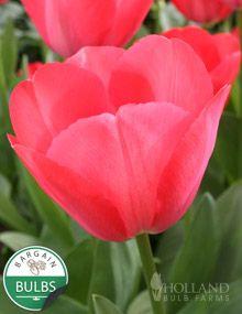 a shorter tulip   Van Eijk Darwin Hybrid Tulip
