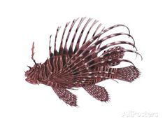 Lionfish Posters - AllPosters.ca