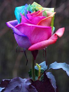 Photograph Harlequin by Martin Sabine on Beautiful Rose Flowers, Rare Flowers, Black Flowers, Love Rose, Exotic Flowers, Amazing Flowers, Flowery Wallpaper, Rainbow Flowers, Bunt