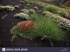 Flowers Grasses Growing on Volcanic Ash Mount Etna Sicily Italy Stock Photo