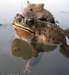 Frog saves rat from drowning as tiny creature hitches a ride across pond. The frog appeared at the rat's side as it clung to some debris in the middle of a small pond. Animals And Pets, Baby Animals, Funny Animals, Cute Animals, Beautiful Creatures, Animals Beautiful, Unlikely Animal Friends, Unusual Animal Friends, Photo Animaliere