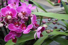 Bunga anggrek memang tidak hanya mempercantik halaman rumah, tapi jika diletakkan sebagai hiasan di dalam ruangan, akan membuat ruangan lebih elegan dan nyaman.