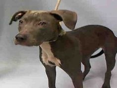 ♡ MY LIFE MATTERS ♡ SHAY – A1060522 FEMALE, GRAY / WHITE, PIT BULL MIX, 1 yr STRAY – STRAY WAIT, NO HOLD Reason STRAY Intake condition EXAM REQ Intake Date12/14/2015, From NY 10461, DueOut Date12/17/2015,