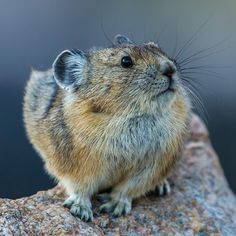 Pika!  Photo by @drewtrush. In between storms this pika stays busy gathering grasses for the long winter ahead. These little guys are some of the hardest workers here in the high country. With snow flying as we speak winter is on its way! #beartooths beartoothmountains #pika #bigwonderfulwyoming #greateryellowstoneecosystem #gye #greateryellowstone