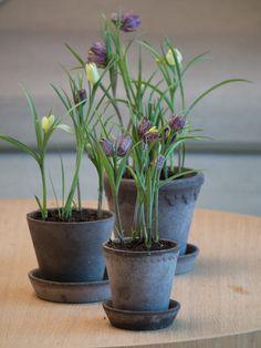 Moseplassen - livet i hagen | Ta vare på løkblomstene og primulaen, de er gratis hageplanter!