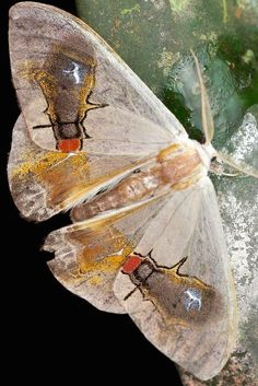 Like their cousins the butterflies, moths also go through metamorphosis. Moths spin cocoons while butterflies create a naked chrysalis. The cocoon is a more sheltered, outer covering. This can often indicate a need to be more sheltered in our creative transforming activities and relationships when the moth is the messenger.