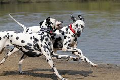 Dalmatians, Lottie and Lily