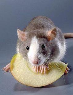 Lundi-Ratte und Maus Zucht 20 kg - Hof Bremehr