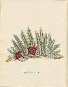 Stapelia reticulata | por peacay