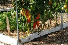 Top 10 reason to grow tomatoes on trellis netting this year.  You gotta try this.