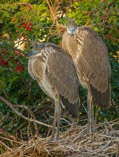 Juvenile Great Blue Heron chicks in nest at Venice bird rookery, located in the middle of Venice, Florida  | Show Me Nature Photography