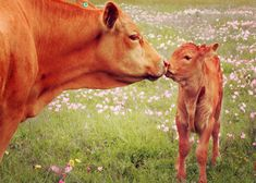 mother-and-calf-kissing-in-texas