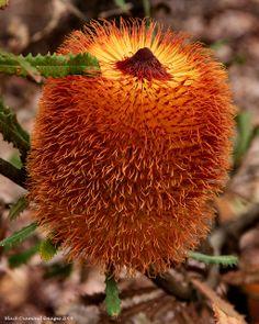 Banksia baueri - Possum Banksia,Woolly Banksia, Teddy Bear Banksia - © All Rights Reserved - Black Diamond Images