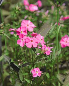 Phlox flowers are a great option for fall gardens. See more fall bulbs that will look good in your garden.