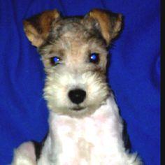 Baby Tucker...sweet! -wire hair fox terrier