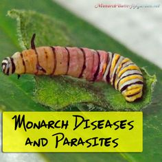 Raising Monarchs is a joyful experience except when diseases and parasites rear their ugly heads. Here's how you can largely avoid them: