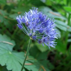 This variety produces a tightly packed, Azure-blue ball of flowers. They are best planted in groups of 10 or more in containers, beds and borders. Allium Sphaerocephalon, Glory Of The Snow, Spanish Bluebells, Easy To Grow Bulbs, Blue Hyacinth, Love Lily, Parrot Tulips, Garden Gifts, Flower Seeds
