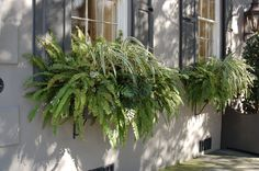 would never think to put full ferns in window boxes