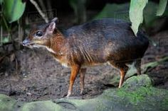 Image result for Tragulidae Deer Species, Small Deer, Kangaroo, Nature, Animals, Image, Pictures, Animales, Animaux