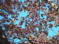 A'la Annn: Cherry Blossom Helsinki, Cherry Blossom, Travel, Viajes, Traveling, Cherry Blossoms, Tourism, Outdoor Travel