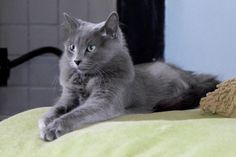 """""""Nisa Sereb Haze is one of our lovely queens. Nisa is born on the 16th of January 2005 at cattery Sereb Haze in Groningen( the Netherland)."""" (quote) breed: Nebelung"""