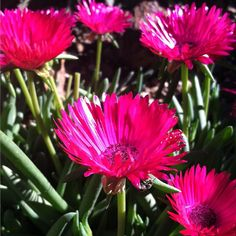 Afternoon #beautybreak-Blooming in the succulent gallery - Ruschia sp. #dbgflowers #pink