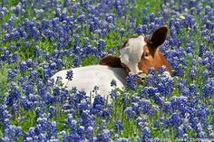 Longhorn Calf in Bluebonnets 6624 Cute Baby Cow, Baby Cows, Cute Cows, Baby Elephants, Fluffy Cows, Fluffy Animals, Elephant Photography, Animal Photography, Cow Pictures